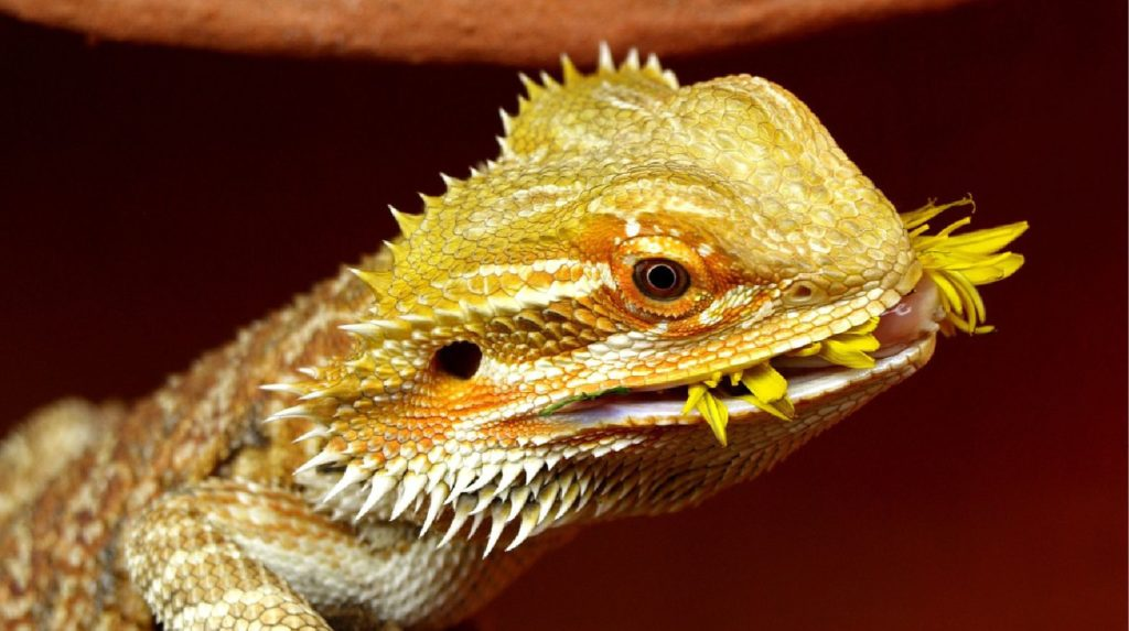 What Do Baby Bearded Dragons Eat - The Pet Gurus