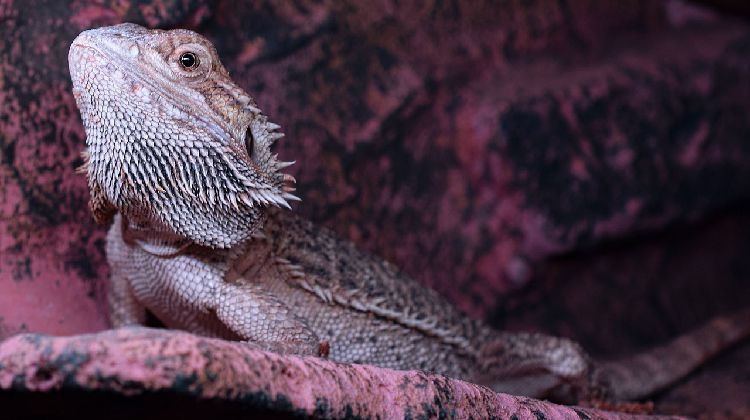 The True Cost Of Owning A Bearded Dragon Bearded Dragon