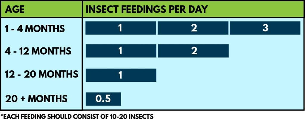 bearded dragon insects per day