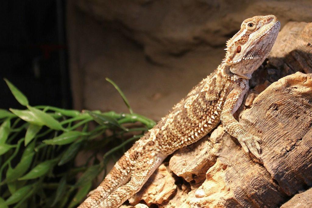 bearded dragon tank