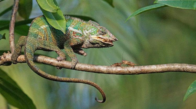 chameleon diet