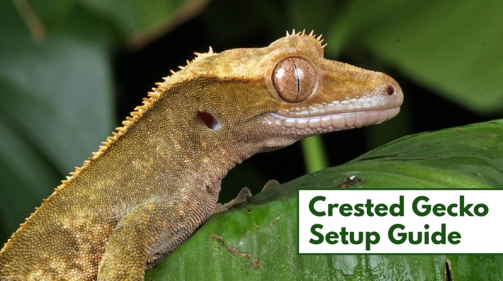 Setting Up A Crested Gecko Habitat Step By Step Beginners Guide
