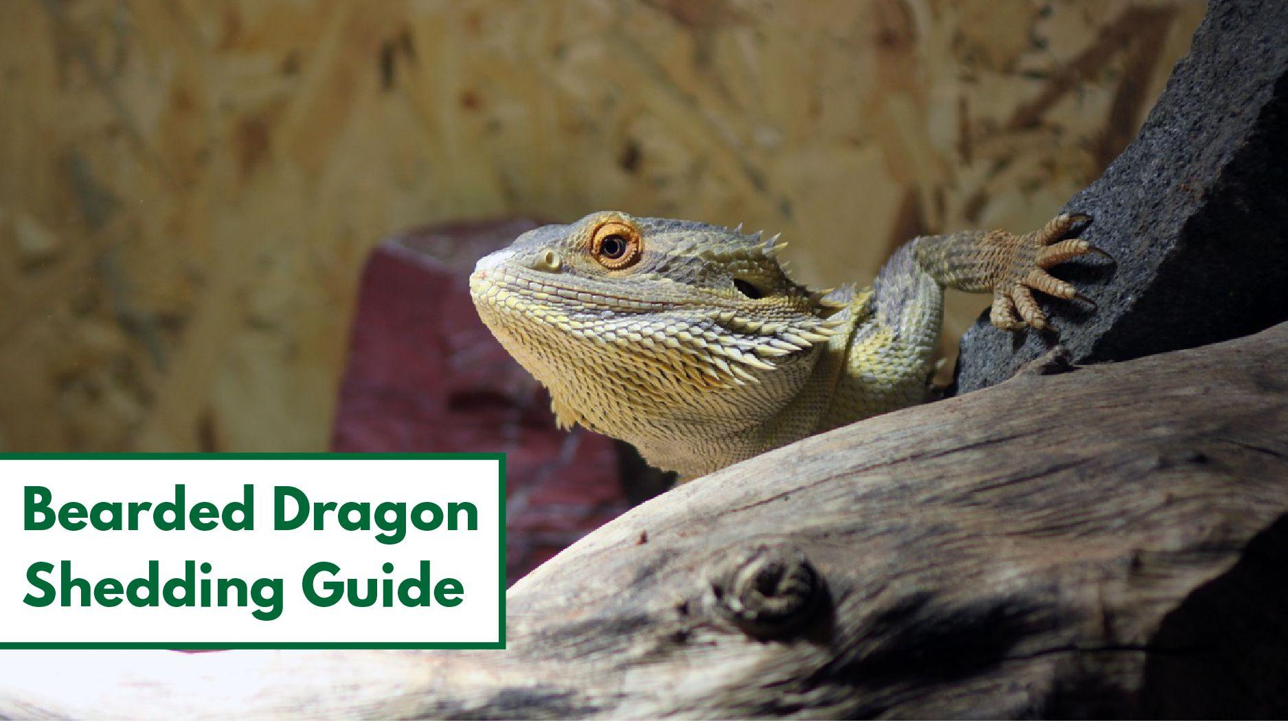 bearded dragon shedding guide