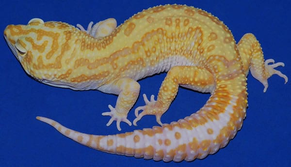 striped tremper albino leopard gecko
