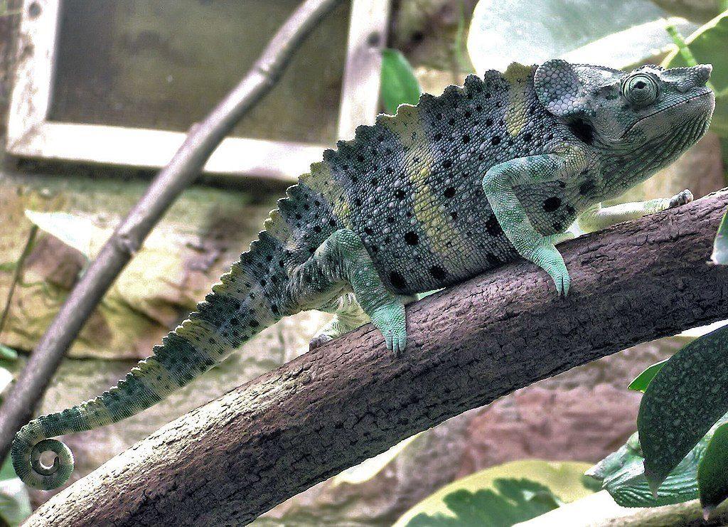 mellers chameleon