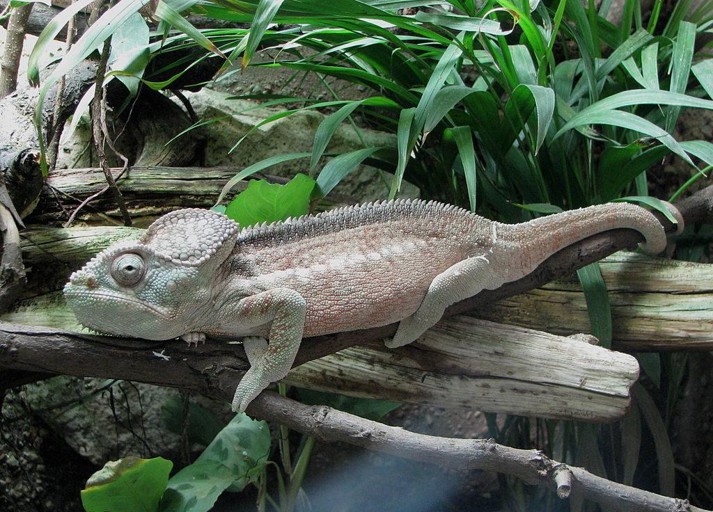 Outstalet's Chameleon