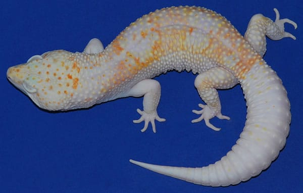 dreamsicle leopard gecko