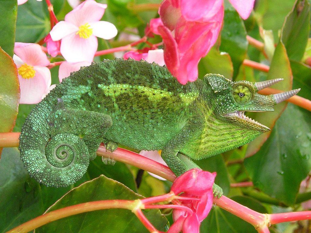 jacksons chameleon