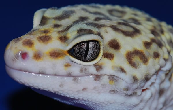 marble eye leopard gecko