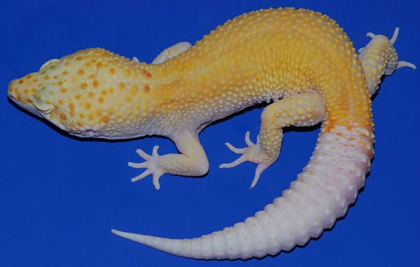 35 Awesome Leopard Gecko Morphs (With Pictures): The