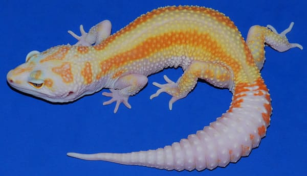 raining red stripe leopard gecko