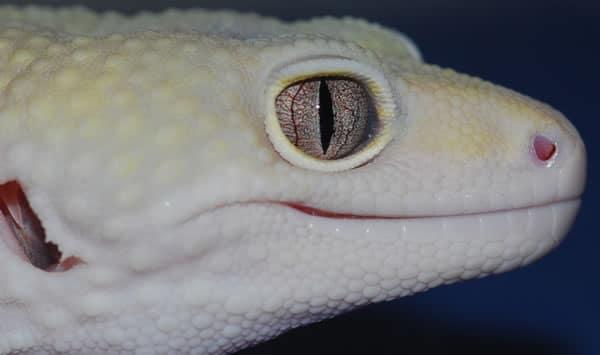 snake eyed leopard gecko
