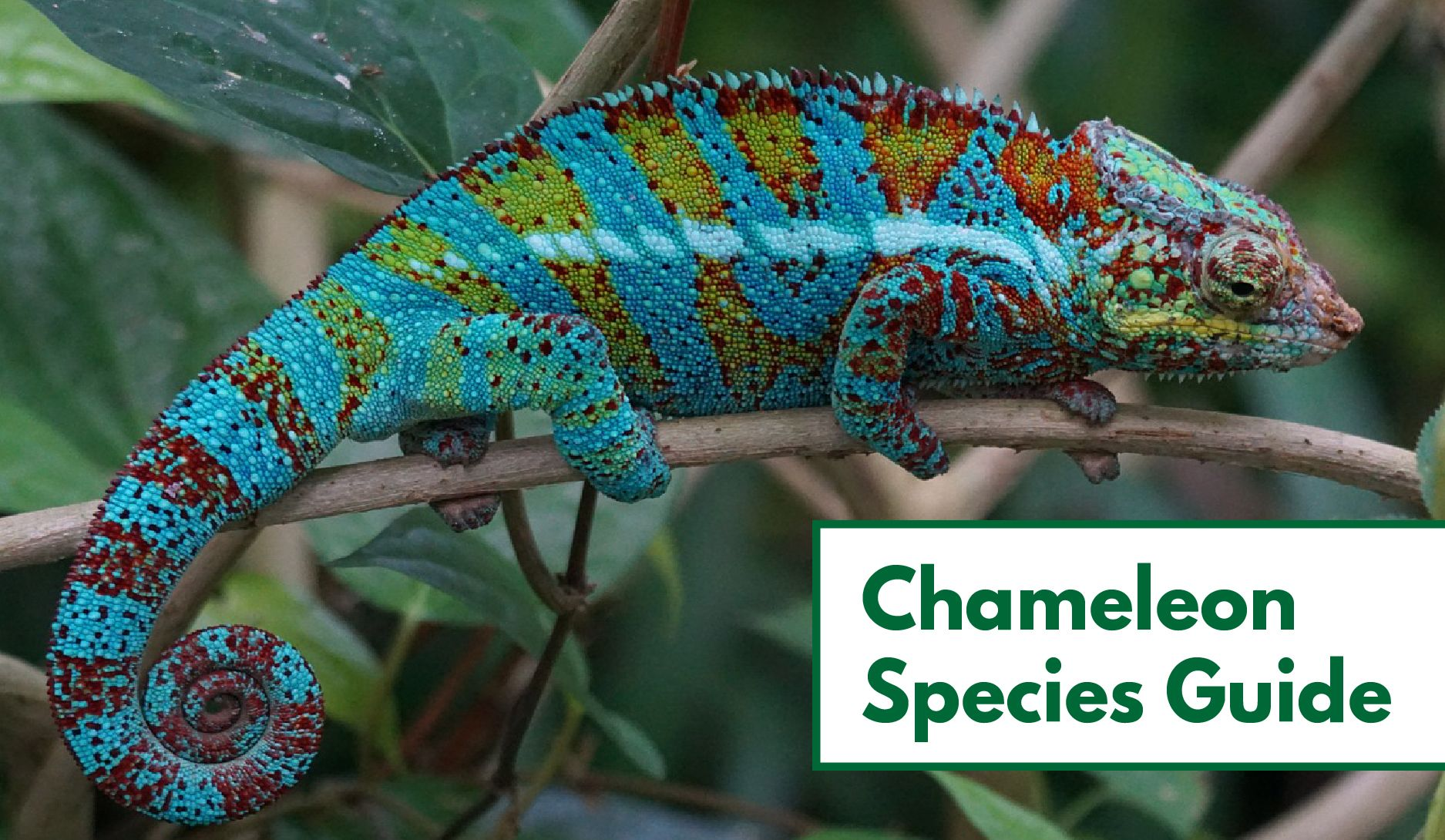 70+ Types of Chameleons (With Pictures): Chameleon Species Guide