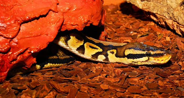 ball python hides