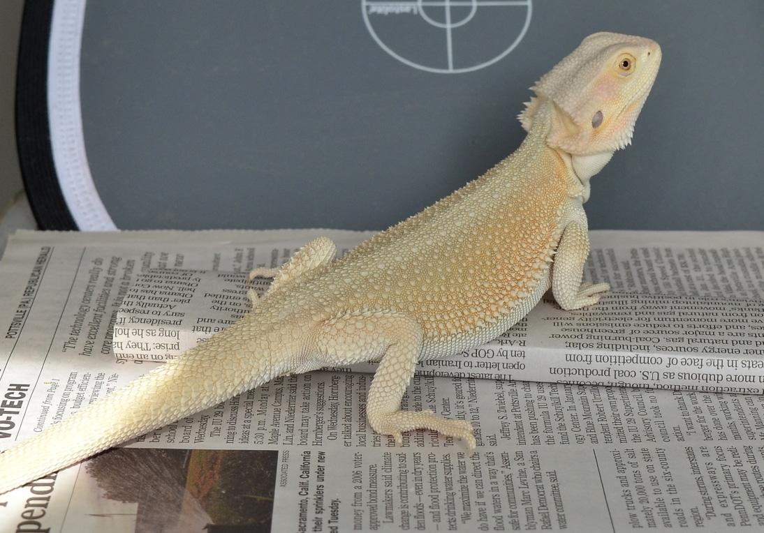 Witblits bearded dragon