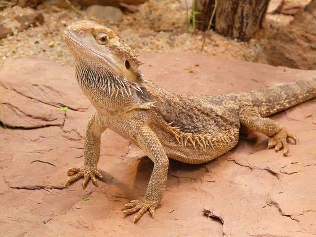 normal bearded dragon