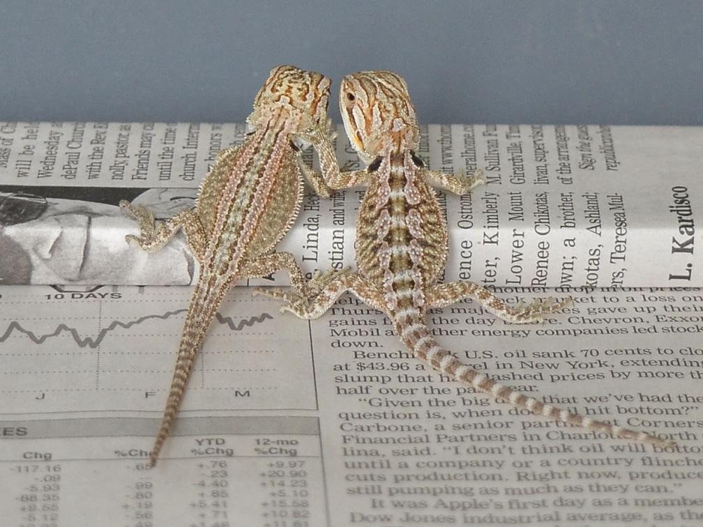 genetic stripe bearded dragon