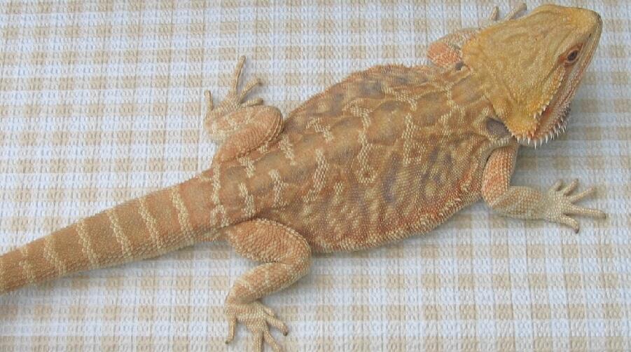 micro scale bearded dragon