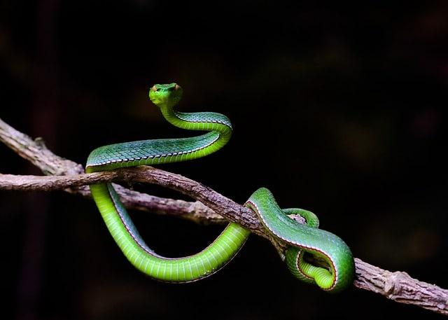 Asian Vine Snakes