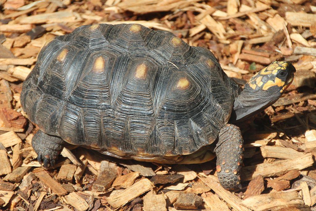 Chelonoidis carbonaria