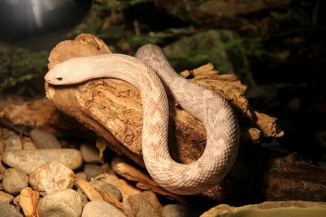 Pituophis melanoleucus