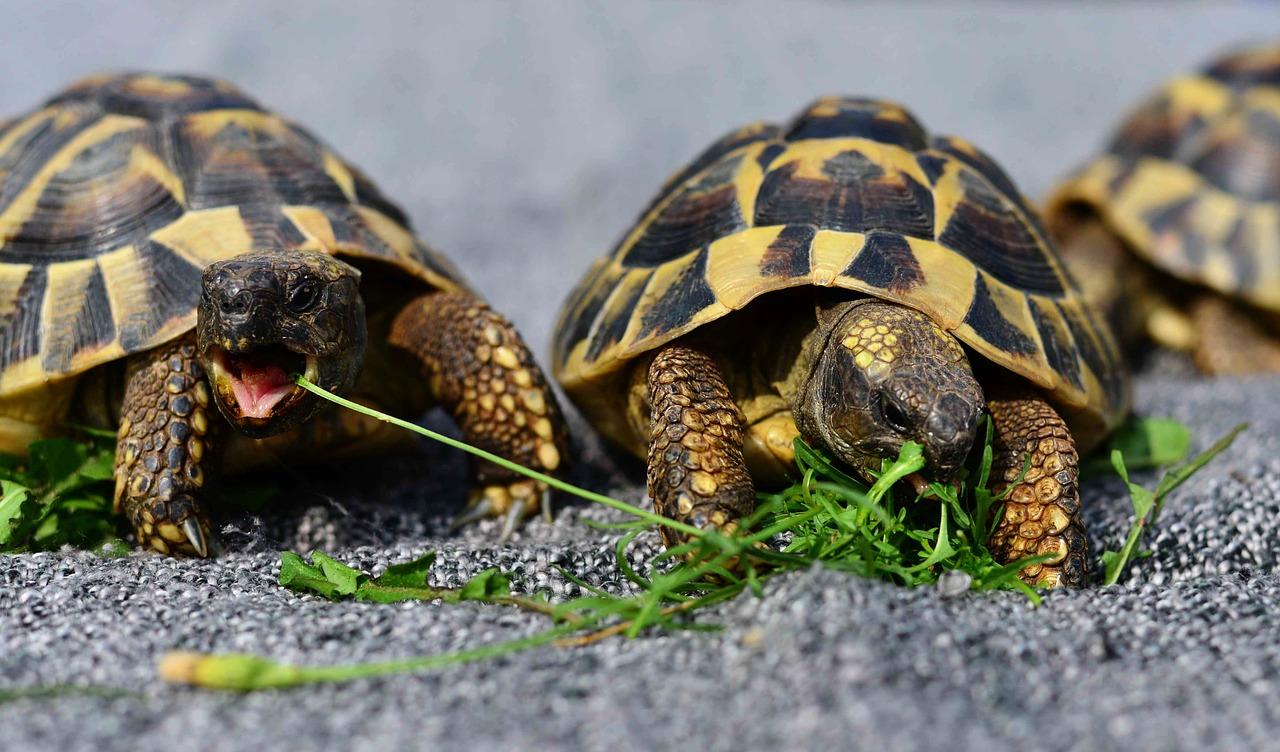 tortoise species
