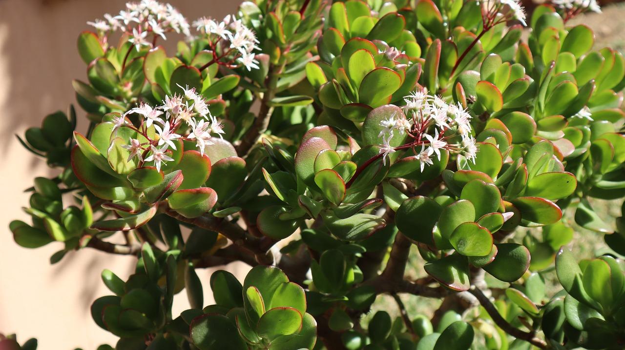 jade plant chameleon