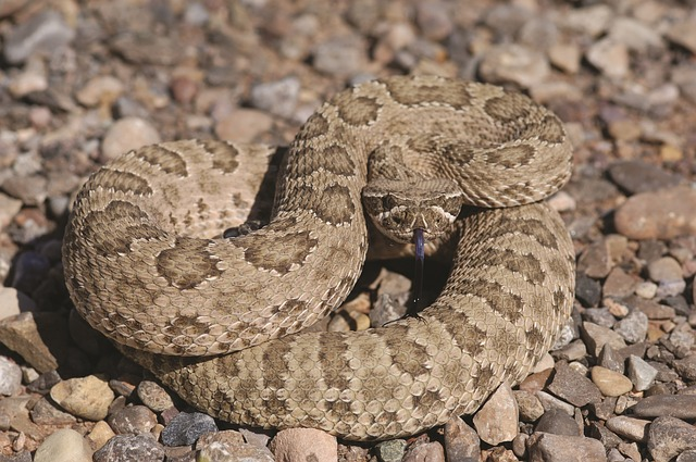 rattlesnake young