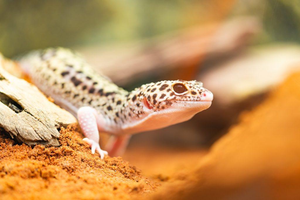 pet leopard gecko in tank