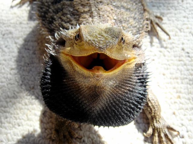 15 Signs of a Stressed & Unhealthy Bearded Dragon ...