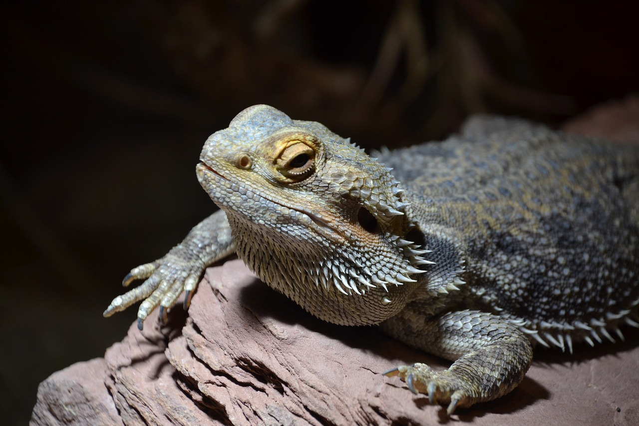 fat bearded dragon