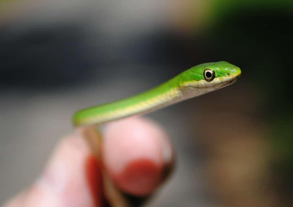 Opheodrys spp. green snake