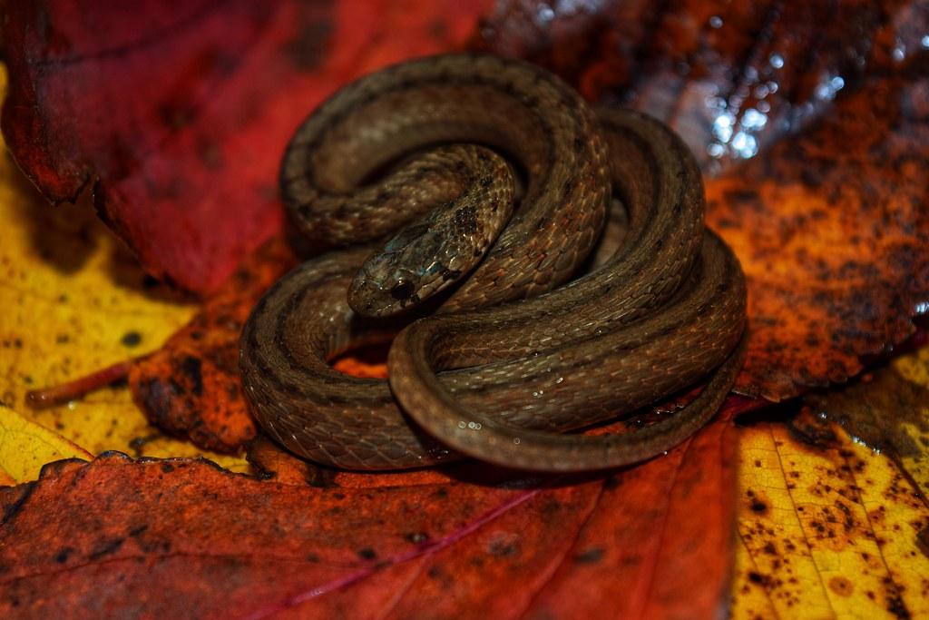 Storeria dekayi snake