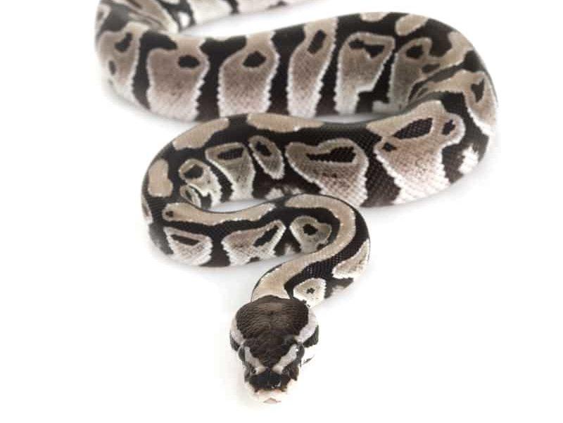 Axanthic Ball Python (Python regius) on white background.