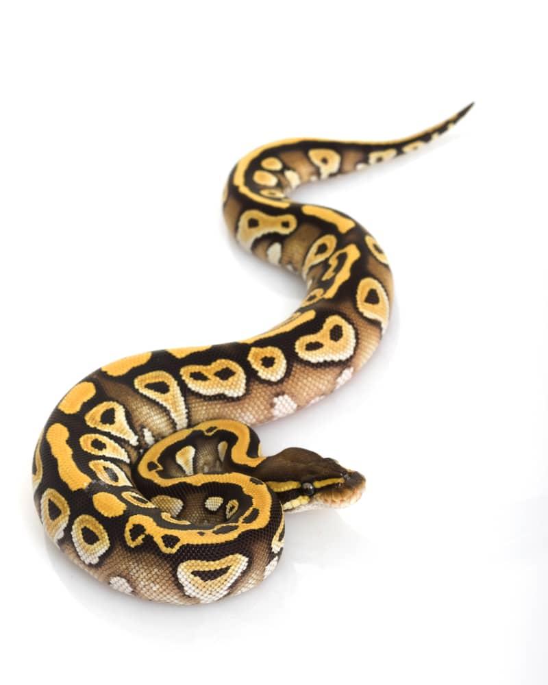Mojave Ball Python (Python regius) on white background