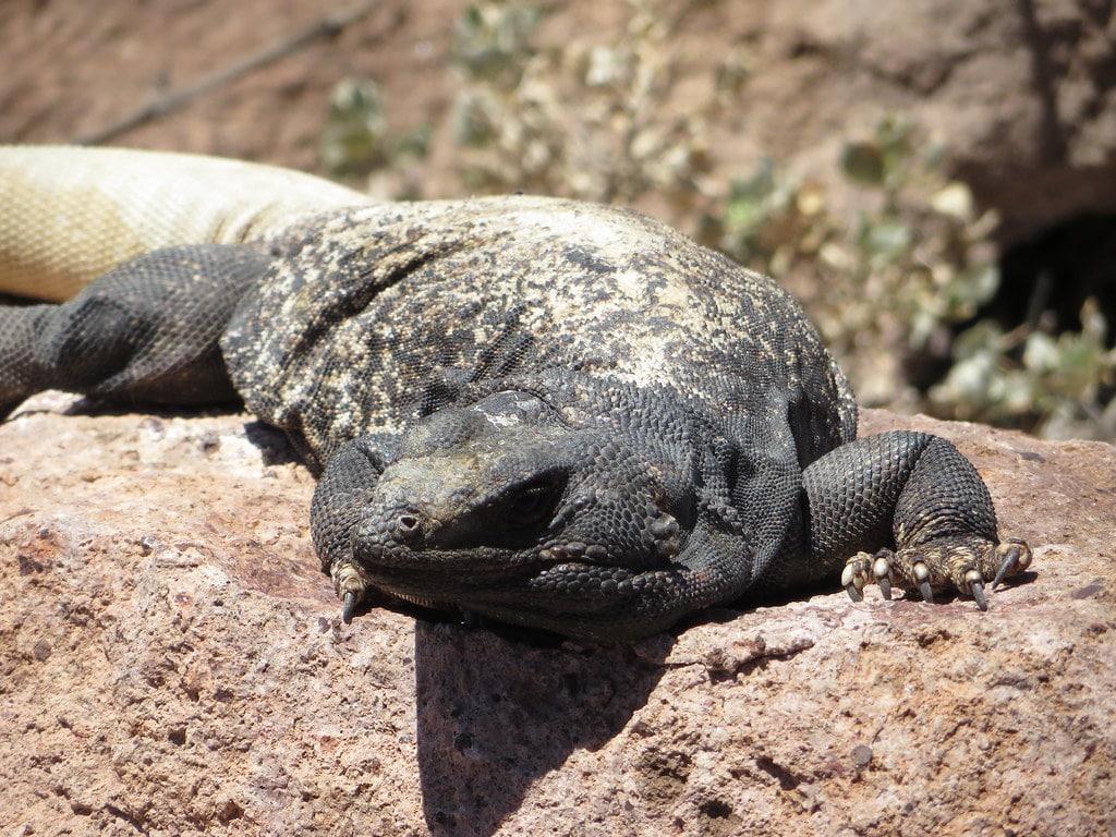 chuckwallas iguana