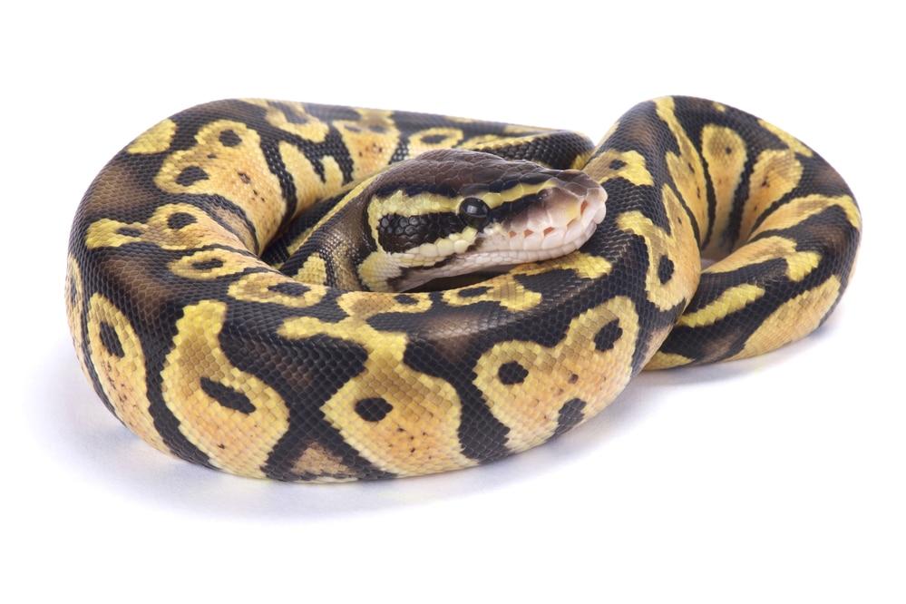 Fire Ball Python Morph
