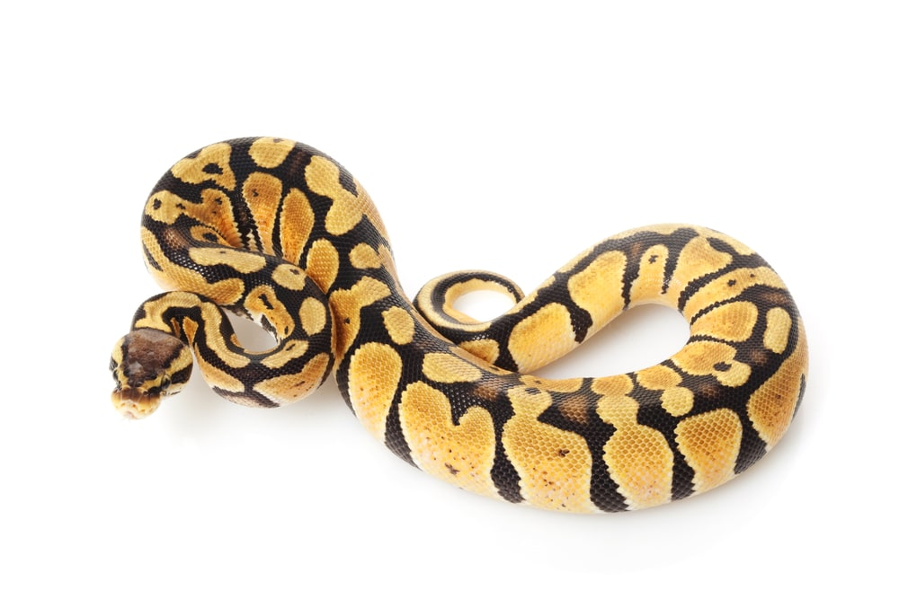 pastel ball python (Python regius) isolated on white background