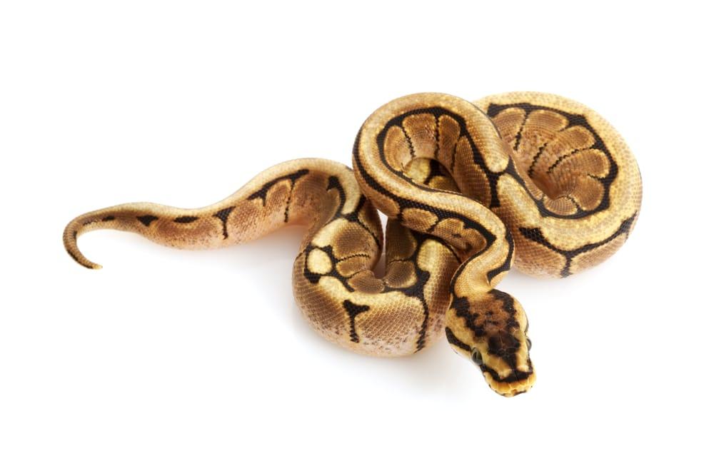 Spider Ball Python (Python regius) isolated on white background