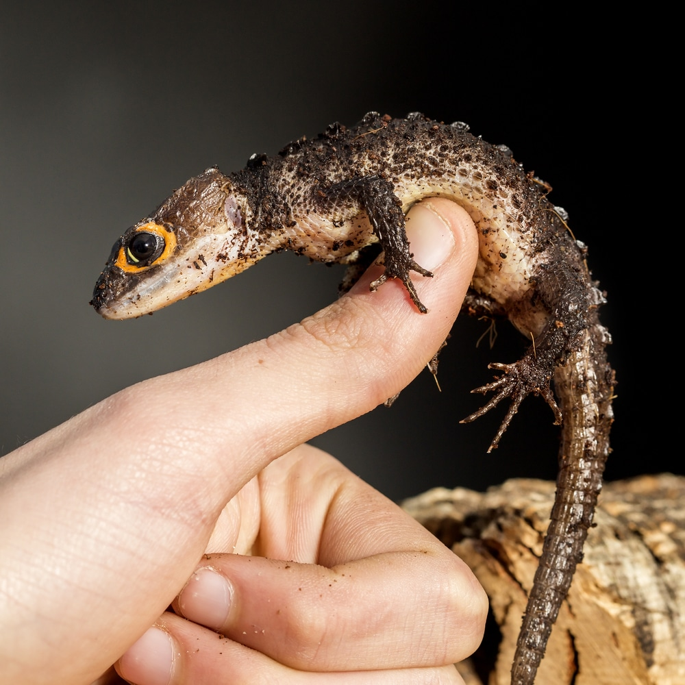 Red eyed crocodile skink, Tribolonotus gracilis