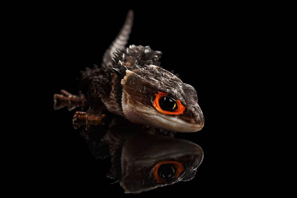 Closeup Red-eyed crocodile skink