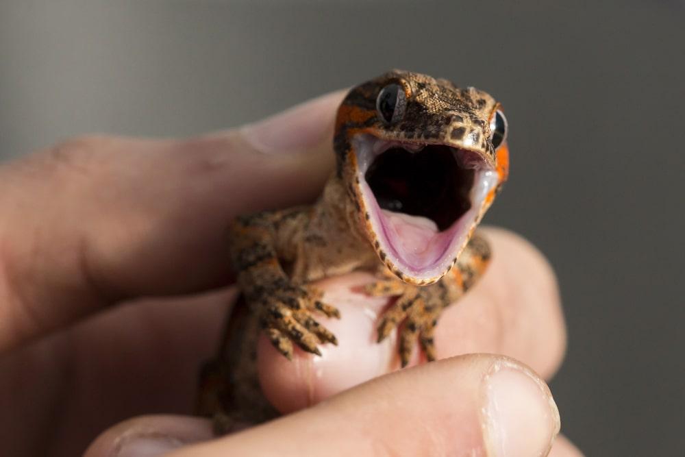 handling a gargoyle gecko