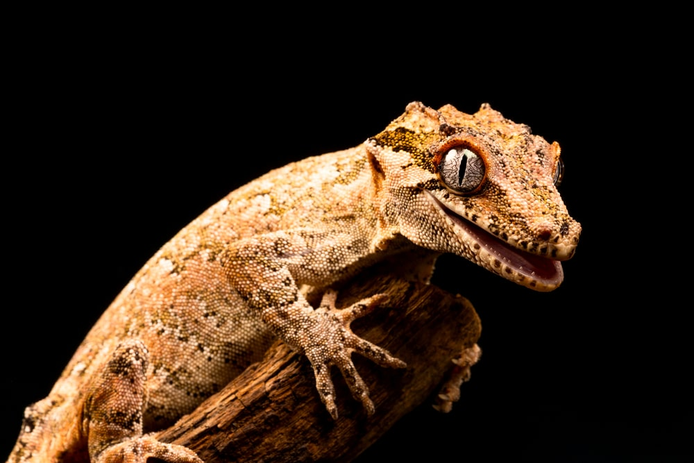 gargoyle gecko (Rhacodactylus auriculatus) on black background