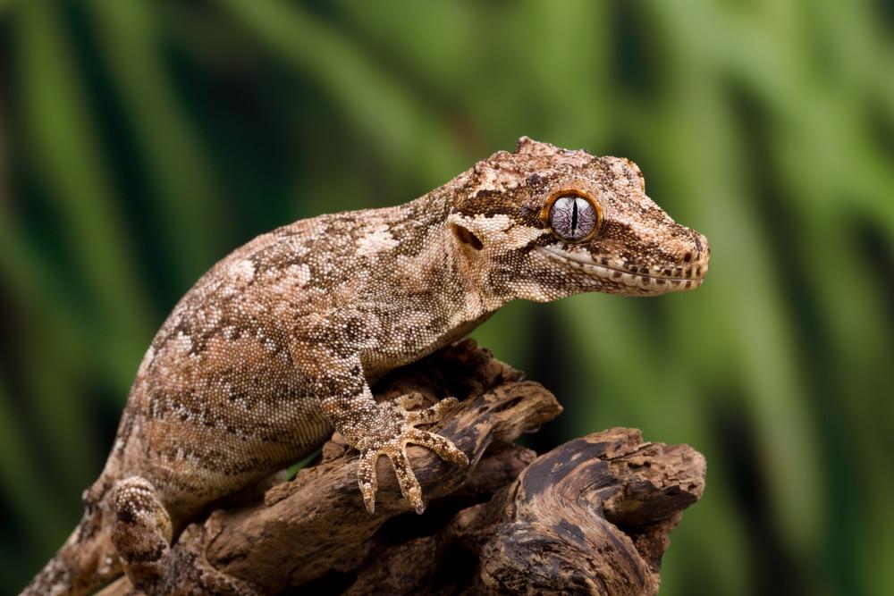 Gargoyle gecko on tree branch