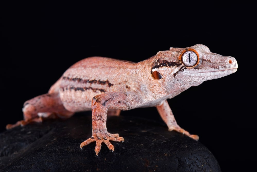 The Gargoyle gecko (Rhacodactylus auriculatus)