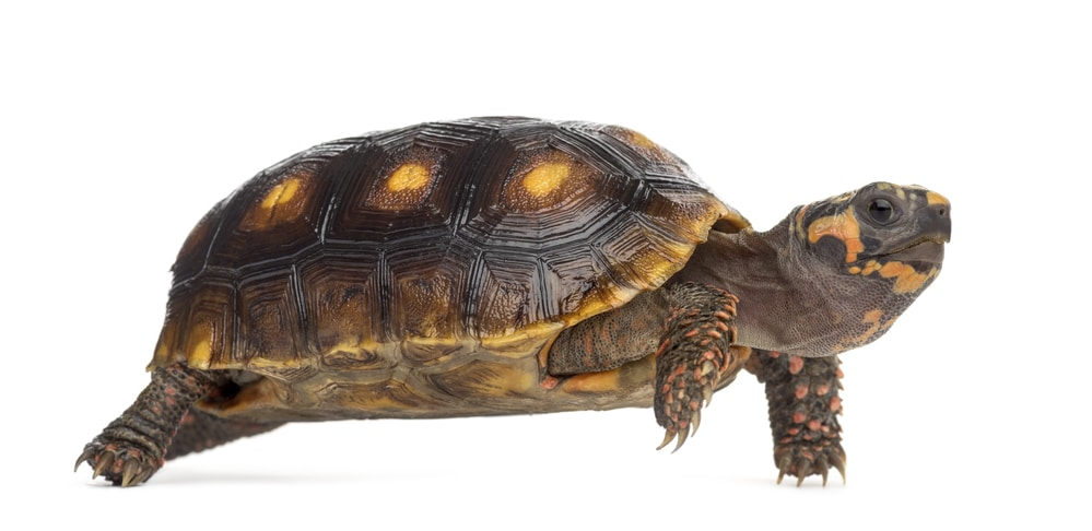 Red-footed tortoises