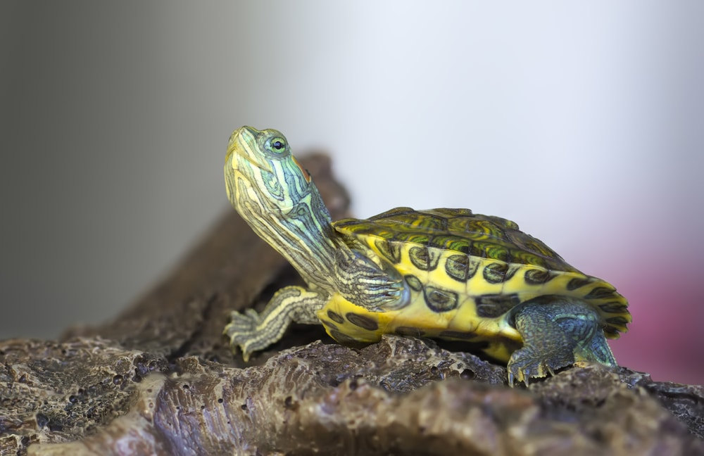 red eared slider on a rock
