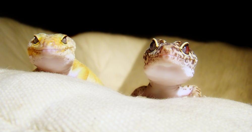 leopard gecko pair
