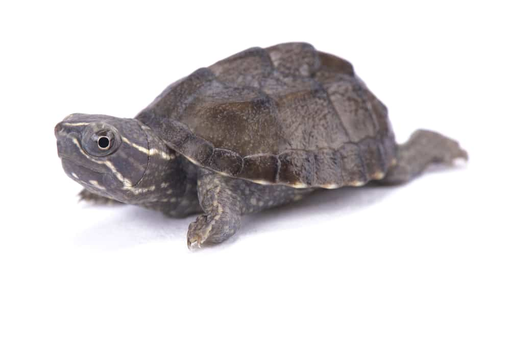 Musk turtle, Sternotherus odoratus