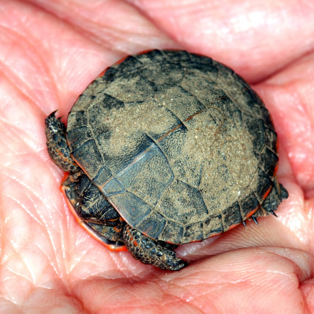 Baby Painted Turtle (Chrysemys picta)